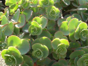 Sedum Sieboldii plantje