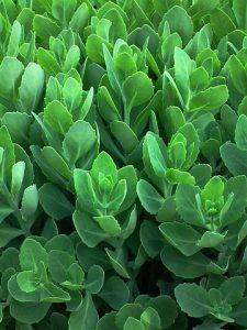Sedum Telephium plant