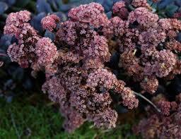 Sedum Purple Emperor bloem