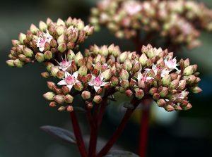 Sedum Matrona bloem