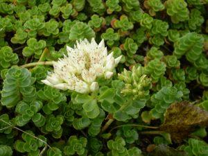 Sedum Spurium bloem